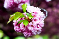 A Bunch Of Cherry Blossoms_116